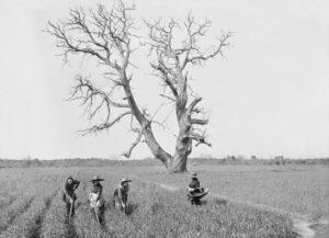 """Félix ARNAUDIN, """"Sabres, Le Nan, châtaignier, sarcleuses"""" 2 avril 1913, d'après négatif au gélatino-bromure d'argent. Collection Musée d'Aquitaine, Inv. 66.27.2023"""